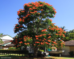 Spathodea campanulata - African Tulip Tree (Black Diamond Images) Tags: flowers great lakes australia nsw blooms forster floweringtrees spathodeacampanulata africantuliptree bignoniaceae spathodea midnorthcoast beautifulfloweringtrees redfp orangefp thelakesway
