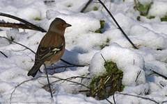 Los Gorriones en peligro de extinción..?   the extinction of sparrows ?