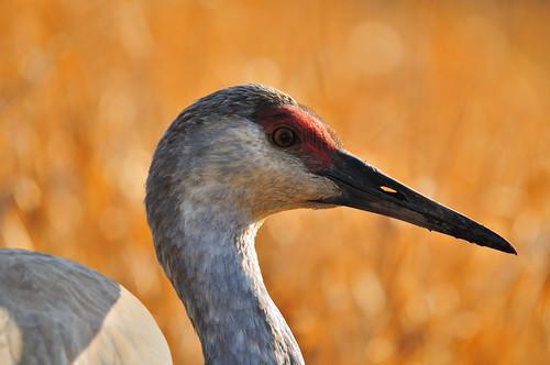 Sandhill Crane closeup02