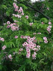 Pink shower tree - Cassia javanica (Tatters ) Tags: tree australia qld fabaceae cassia brisbanebotanicgardens pinkflowers floweringtree coottha caesalpiniaceae mtcootthabotanicgardens cassiajavanica mcbgb