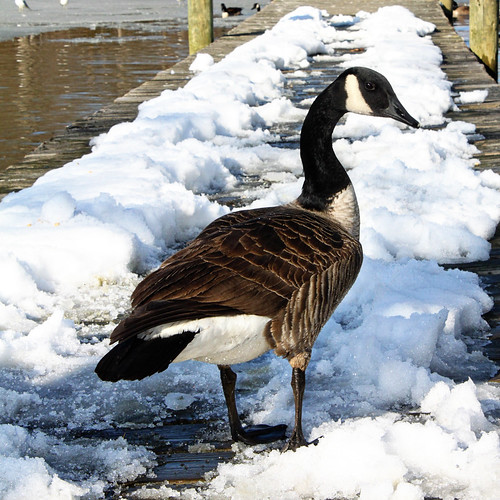 Picture 1248 goose
