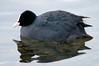 Eurasian Coot (Per Erik Sviland) Tags: bird water nikon erik per eurasian coot sothøne fulicaatra pererik eurasiancoot sviland sqbbe pereriksviland