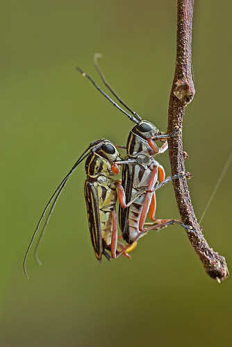 long-horned beetle in love - 2