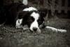 LayDown (fotoham) Tags: dog bordercollie indi lightroom ballonarope nikond3000 nikoneseries50mm18 everytingmanual startedfrompresetafarewelltoarms andthentwiddledwithallthesettingsagain