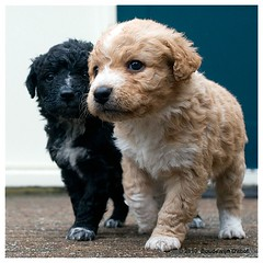 Stabyhoun pups, Stabij pups in spring (bo foto) Tags: dog dogs pups puppies nikon pup dogphotography d300 honden stabij friesestabij stabyhoun natuurfotograaf dogpic dogphotographer jachthond jachthonden bofoto nikonflickraward hondenfotograaf hondenfotografie