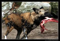 African Wild Dogs / Afrikanische Wildhunde (09) (Georg Sander) Tags: pictures wild wallpaper dog dogs zoo photo foto shot image photos shots african picture perro photograph fotos bild capture duisburg garten bilder captures africano lycaon zoologischer aufnahmen salvaje aufnahme pictus wildhunde afrikanischer wildhund afrikanische wildehond hyänenhund cynhyène gerald1311 hyänenhunde wildehonds