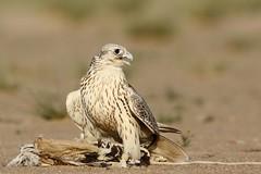 (Explore) (sahoodvich) Tags: life wild bird animal sport canon fly hunting flight arab falcon kuwait ibrahim  khaled  q8           barlin         gyer             sahoodi   alsahood sahoodvich   alhawedi