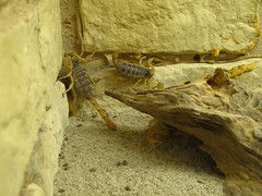 Desert Hairy Scorpion