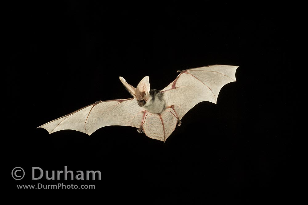 spotted bat (Euderma maculatum)