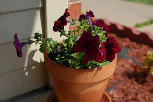 pot of petunias