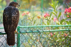 Pray for Prey (lynn.h.armstrong) Tags: camera flowers red vacation brown ontario canada green bird art grass leaves yellow metal fence lens geotagged photography photo interesting wire eyes mac aperture nikon long flickr post zoom bokeh hawk south cuba beak feathers may lynn h prey nikkor varadero armstrong stormont vr afs gettyimages dx sault talons ingleside 2011 ifed 18200mm f3556 attributionnoderivs vrii d7000 ccbynd lynnharmstrong requesttolicence