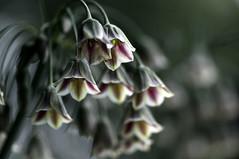 Everything That Happens Will Happen Today - Explore (Light Echoes) Tags: flower macro garden spring nikon pennsylvania explore bloom alium 2011 d90 dmk