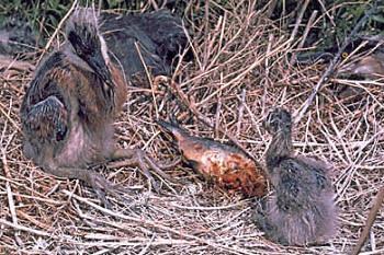heron babies