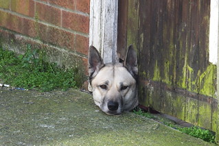 Dog looking thru hole in gate