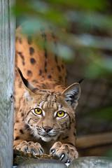 Ma lynx sharping her claws (Cloudtail the Snow Leopard) Tags: zoo karlsruhe tier animal mammal säugetier katze cat feline luchs lynx kapartenluchs heidi cloudtailthesnowleopard