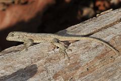 Eastern Fence Lizard - Sceloporus undulatus, Meadowood Farm SRMA, Mason Neck, Virginia (judygva) Tags: