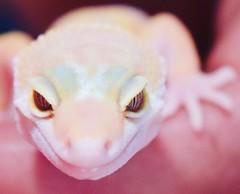 yellow pink Nd white gecko (shiryl1991) Tags: leopardgecko