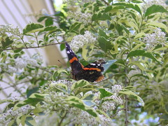 Butterfly in the Bushes