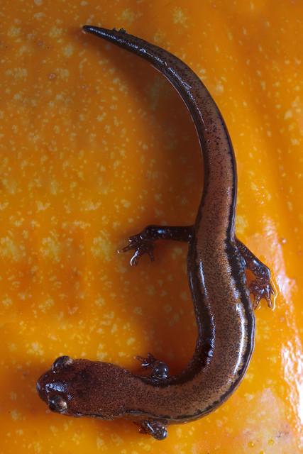 Redbacked Salamander (Plethodon cinereus)