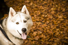 Husky Eyes (~FreeBirD®~) Tags: autumn dog sexy eye fall love nature beauty animal yellow tongue wonderful pose eyes nikon colours natural ears sharp perro looks otoño variety leash breed brilliant deadly freebird dryleaves manibabbar d700 maniya