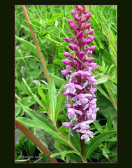 Orchidee ( Annieta  Off / On) Tags: italy lake holiday flower color nature fleur june juni canon ilovenature this vacances vakantie is photo juin italia natuur lac powershot using piemonte illegal s2is fiori wildflower farbe colori without canonpowershots2is 2009 couleur permission allrightsreserved aosta itali bloem valledaosta valdaosta kleur mountainflower aostavalley annieta abigfave wildebloem flowerwatcher alpenflower lagodiplacemoulin alpenbloem valledaosta usingthisphotowithoutpermissionisillegal bergbloem