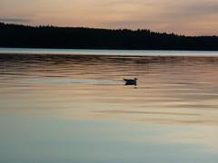 Night sky 10 (PhotoNinja.Chunin) Tags: lake finland fishing europe seagull gull nightphoto pihlajavesi ahvenisto easternfinland itsuomi treeshot