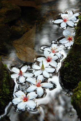Aleurites montana 桐花