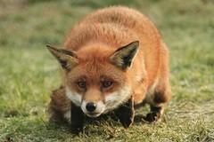 ready to pounce (felt_tip_felon) Tags: nature animal mammal wildlife fox bwc redfox vulpesvulpes