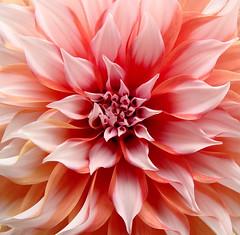 Cluster (Cranti) Tags: pink dahlia flower macro eye colors circle petals 3d perfect cluster symmetry resort concentric pragati kranthi flickrunitedaward