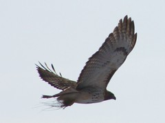 Red-Tailed Hawek 7 (Orna2009) Tags: 20100114
