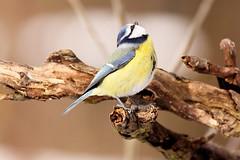 [フリー画像] [動物写真] [鳥類] [野鳥] [アオガラ]       [フリー素材]