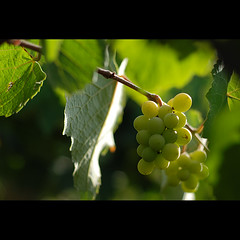 farm fresh (sash/ slash) Tags: morning travel green nature leaves vineyard wine farm bangalore sash fresh drinks grapes agriculture sajesh sarjapura