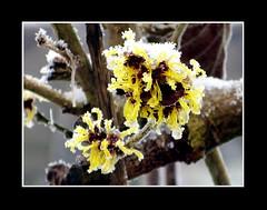 Natuur / Nature (Theo Kelderman) Tags: white snow holland tree netherlands yellow canon blossom sneeuw nederland boom geel wit bloesem twente 2010 februari theokeldermanphotography