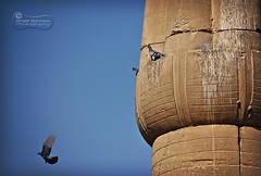 That Age-old Suicide Thing!.. (SonOfJordan) Tags: old blue sky bird canon eos cool jump ancient funny pigeon suicide egypt column comicrelief xsi 450d samawi sonofjordan wwwshadisamawicom