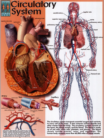 circulatory system functions and organs. Circulatory system.