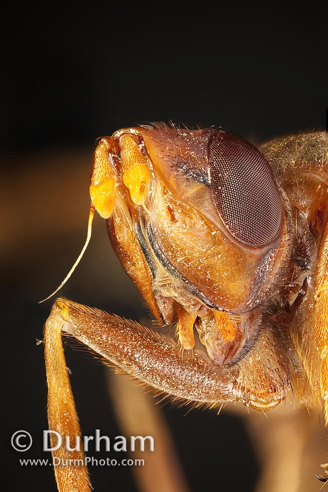 pyrgotidae fly