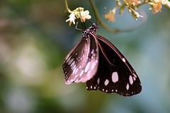 You too little one (RachaelMc) Tags: summer plant nature beautiful gardens butterfly garden botanical bokeh gorgeous brisbane bej brillianteyejewel rachaelmc rjmcdiarmid