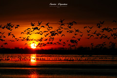 Flying Silhouettes! (Imapix) Tags: bird nature animal sunrise bravo migration oiseau snowgeese leverdusoleil gaetanbourque oiesblanches mywinners 100commentgroup