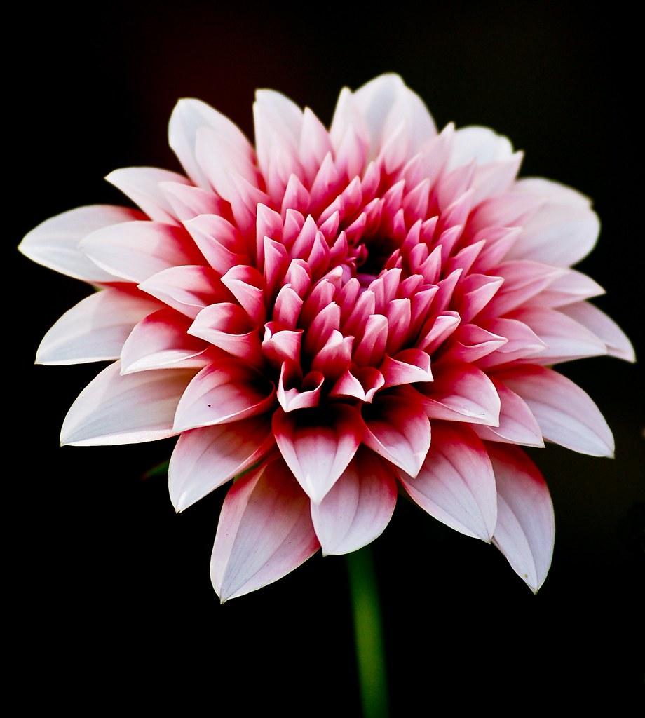 Explore # 25 on 1st April - Spring Flower Festival Islamabad - Flower 1