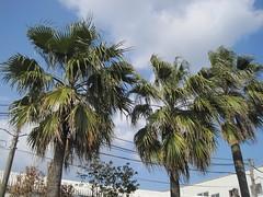Palmen in Kagoshima (LaNinaNaranja) Tags: japan kagoshima palmen