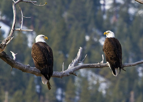 Winning Photo: 2 Eagles On A Branch
