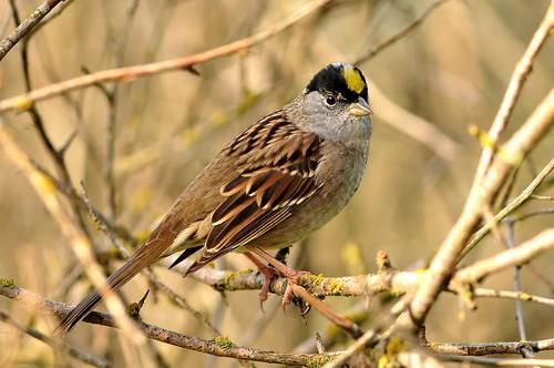 フリー画像| 動物写真| 鳥類| 野鳥| キガシラシトド|       フリー素材|