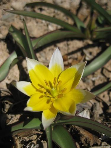 Miniature wildflower tulips