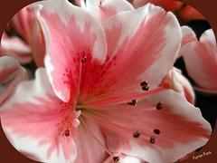 Explosion primaveral (fpons) Tags: flores macro planta canon interior azalea semisombra florenciapons