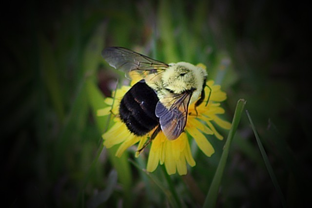 Bumble Bee Vignette Effect 014 by Chrisser