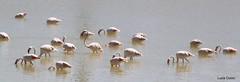 sa genti arrubia (fenicotteri rosa) (Lucia Cossu) Tags: sardegna canon sardinia saline cagliari molentargius stagno casteddu fenicotterirosa nidificazione sagentiarrubia luciacossu