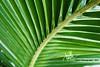 Leaves are green...... (Xyme's Photography) Tags: macro green leaves photography nikon palm maldives ruh zaeem dhivehiraajje dhivehiruh coocnut shaviyani raajje d3000 xaeem milandhoo xyme xaym xymesphotography dhivehurukufan