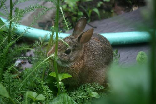 rabbit 069