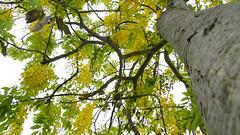 Cassia fistula (ddsnet) Tags: shower sony cassiafistula new nex  tree   new goldenshowertree golden mirrorless     emount    nex5  cassia fistula newemountexperience experience
