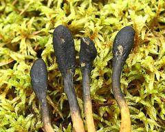 Hirvepähkli kedristõlvik (Elaphocordyceps ophioglossoides). (Imbi Vahuri) Tags: imbivahuri fungi seened ascomycota kottseened hypocreales helekottseenelaadsed elaphocordyceps